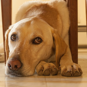 Afton by Matthew Lindsey - Animals - Dogs Portraits ( dog resting, laying down, sad dog, paws and face, dog, on floor, yellow lab )