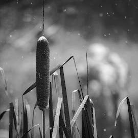 Cattails of winter  by Todd Reynolds - Black & White Flowers & Plants