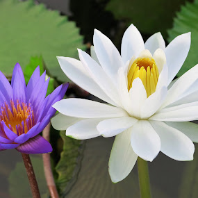 Purple & White Water Lilies by Dennis  Ng - Flowers Flowers in the Wild (  )