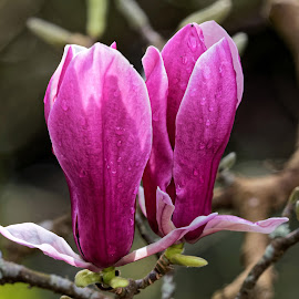 Magnolia 9946 by Raphael RaCcoon - Flowers Tree Blossoms