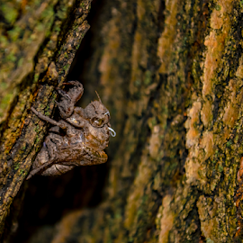 by Pam Satterfield Manning - Nature Up Close Other Natural Objects ( patterns, green, texture, locust, macro, lomo, tree, rule of thirds, bark, nature up close, bug, brown, cicada,  )