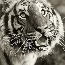 by Thomas Thain - Black & White Animals