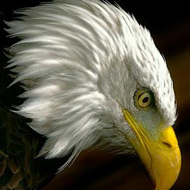 Evil Intent by Pat Hartley - Animals Birds ( bird, bird of prey, eagle, america, beak, raptor, feathers, american bald eagle, eye )