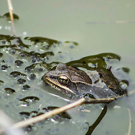 Protective Mother by Chuck Duesler - Animals Amphibians ( eggs, nature, frog, protecting, pond )