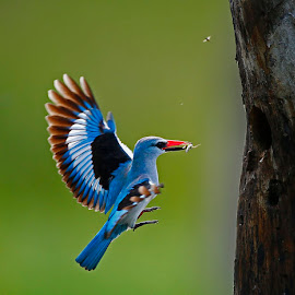 Food |Delivery by Chris Krog - Animals Birds ( senegalensis, halcyon, kingfisher, woodland )