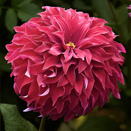 Dahlia 8702~ by Raphael RaCcoon - Flowers Single Flower
