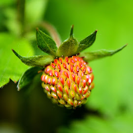 Wild strawberry by Heather Aplin - Nature Up Close Gardens & Produce ( tiny, wild, may, fruit, summer, leaf, garden, strawberry, produce,  )