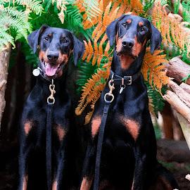 Dobermans by Jenny Trigg - Animals - Dogs Portraits ( woodland, double, dog, doberman, brothers )