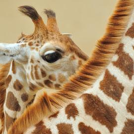 With mum by Tomasz Budziak - Animals Other Mammals ( giraffe, animals,  )