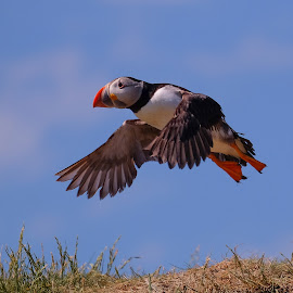 Flypast by Phil Robson - Animals Birds ( bird, orange beak, farne islands, in flight, puffin )