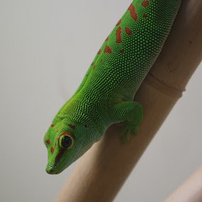Green Lizard by VAM Photography - Animals Reptiles ( lizard, zoo, nature, reptile, animal )