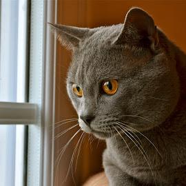 Hugo à la fenêtre by Serge Ostrogradsky - Animals - Cats Portraits
