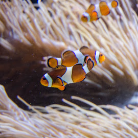Clown Fish by Cory Bohnenkamp - Animals Fish ( water, animals, clown, fish, clownfish )