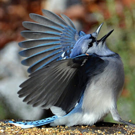 the Opera singer by Isabelle VM - Animals Birds ( bird, bluejay )