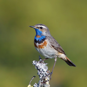 Bluethroat by Hans Olav Beck - Animals Birds ( bluethroat,  )