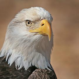 Bird of Prey1 by Gary Enloe - Animals Birds ( bird, eagle, fly, wings, feathers )