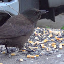 Immature Common Grackle