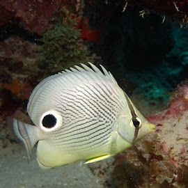 Four-eyed  Butterflyfish by David Gilchrist - Animals Fish ( four-eyed  butterflyfish, fish, underwater photography, butterflyfish, animal, sea creatures, underwater life, ocean life )