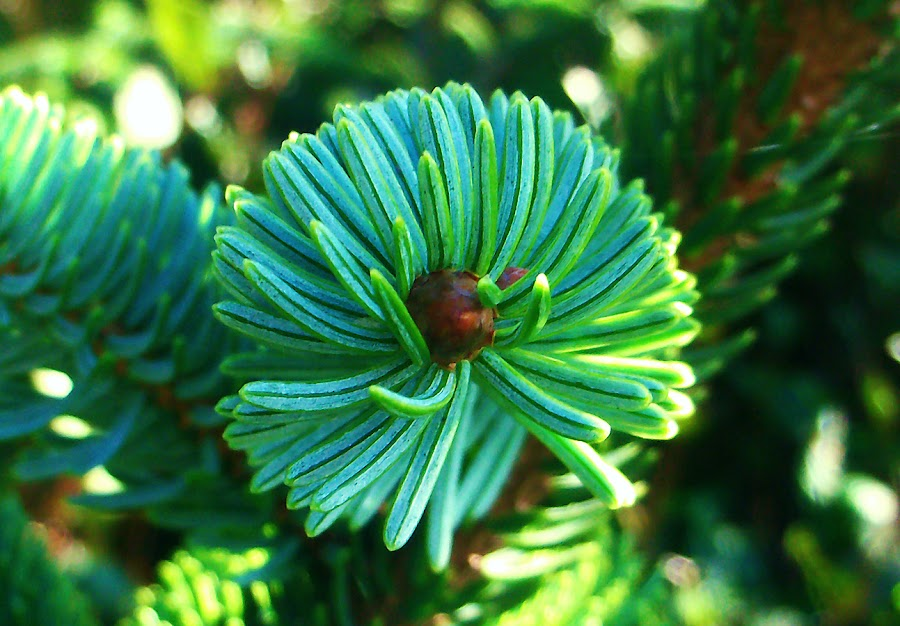 Beach Pine by Rachelle Crockett - Nature Up Close Flowers - 2011-2013 ( plant, tree, green, beach, pine )