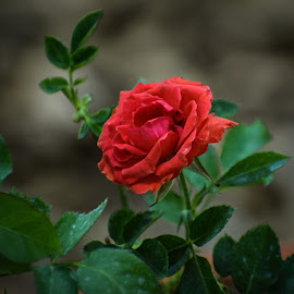 Red Rose by Rahul Manoj - Novices Only Flowers & Plants ( rose, red, petals, green, leaves )