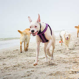 leading the parade by Meaghan Browning - Animals - Dogs Running ( boxer, dogs playing, puppy, beach, group )