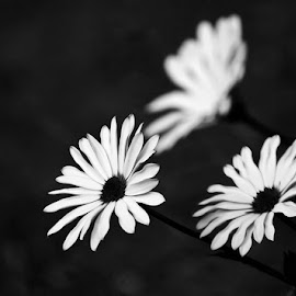 White Daisies by Sandra Giles - Novices Only Macro ( macro, b&w, petals, fauna, flowers )
