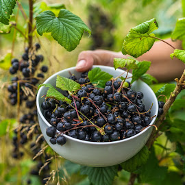 A bowl of fresh blackberries. by John Greene - Food & Drink Fruits & Vegetables ( home grown, green freshness, macro, organic, vitamins, healthy eating, healthy lifestyle, summer background, healthy, blackberries, john greene, garden, berries )