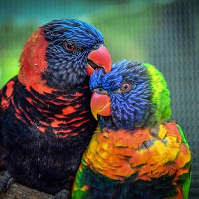 Loving Couple by Robert Coffey - Animals Birds ( bird, beak, branch, feathers, eye, lorikeet,  )