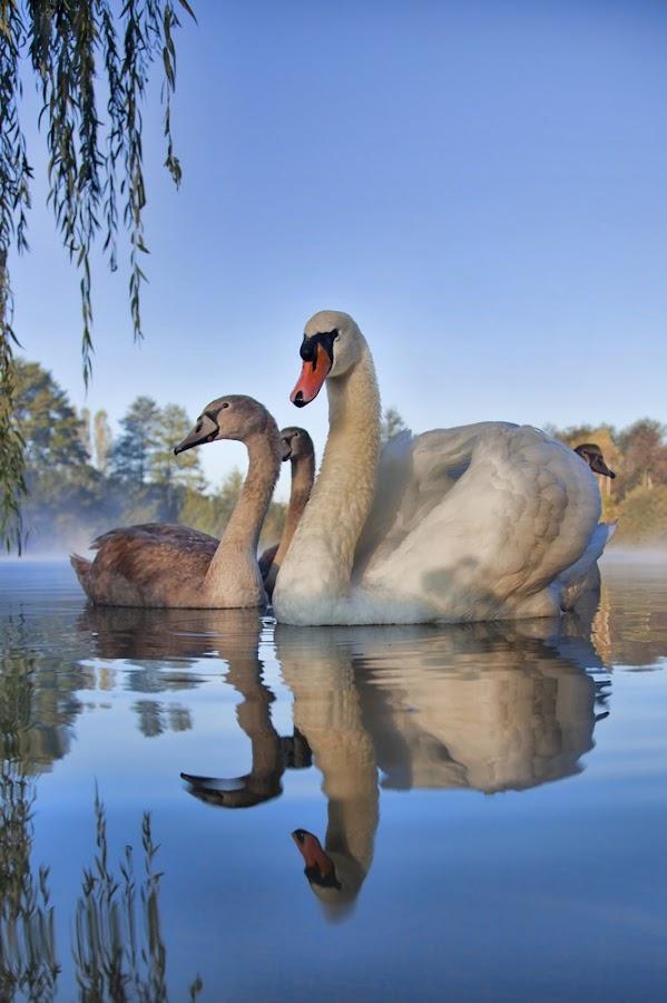 Swans by Albin Bezjak - Animals Birds ( water, swan, lake )