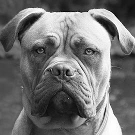 Solemn Luna by Chrissie Barrow - Black & White Animals ( jowels, bullmastiff, monochrome, black and white, pet, ears, grey, dog, mono, nose, portrait, eyes, animal )