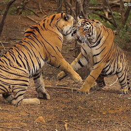 The sibling confrontation by Sanjoy Datta - Animals Lions, Tigers & Big Cats ( unfiltered, wildlife, tiger, action, photographylovers, photooftheday, instagood, instawild, wild, photo, nature, wildlifeactionshot, wildcats, ranthambore, instafollow )