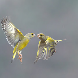 Fight by Stefano Ronchi - Animals Birds