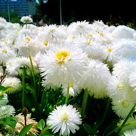 White flowers by Lorena Georgiana - Nature Up Close Gardens & Produce ( white flowers, macro, nature, white, flowers, garden )