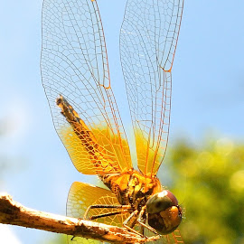 Dragonfly on a sunny day by Francois Wolfaardt - Animals Insects & Spiders ( sky, nature, sunny, wings, insect, dragonfly, close up )