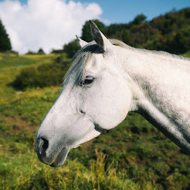 White Beauty by Franz Engels - Animals Horses ( südtirol, animals, animal photography, horses, schimmel, beautiful, seiser alm, portrait, upper adige, south tyrol, pferde, dolomites, italy, dolomite alps, white horse )