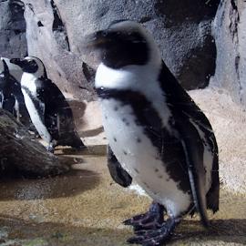 Penguins by Myra Brizendine Wilson - Animals Sea Creatures ( atlanta aquarium, zoo, aquarium, penguins, atlanta, ga,  )