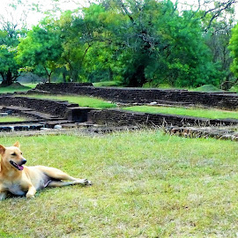 Laying dog with ruins background by Svetlana Saenkova - Animals - Dogs Portraits ( sand colour dog, dog laying, ruins, dog,  )