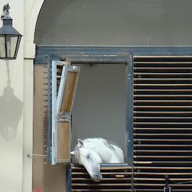 Ecole de VIENNE, Autriche by Ramade Genevieve - Animals Horses (  )