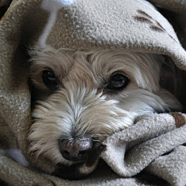 T - doggy blanket (4) by B Lynn - Animals - Dogs Portraits ( mammals., mutt., mutts., light., mammal. )