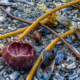 Beach combing by Jeff Colby - Landscapes Beaches ( broken, shell, shells, kelp, beach )