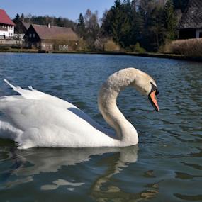swan lake by Dasa Augustinova - Uncategorized All Uncategorized
