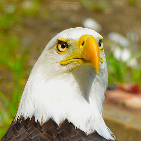 Close Up by  J B  - Animals Birds ( eagle, bald eagle, portrait, american bald eagle,  )