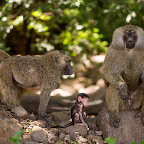 Family portrait by Rosu Alexandru - Animals Other Mammals ( love, baboon, female, family, male, wildlife, baby,  )