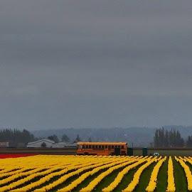 Fields of Yellow by Lavonne Ripley - Landscapes Prairies, Meadows & Fields