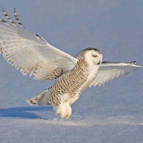 Snowy owl / Harfang des neiges by Rachel Bilodeau - Animals Birds ( harfang des neiges, snowy owl )
