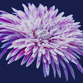 purple by SANGEETA MENA  - Flowers Single Flower