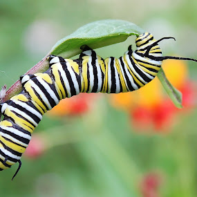Queen caterpillar by Peg Elmore - Animals Insects & Spiders ( queen butterfly, caterpillar, leaf, yellow, garden, black )
