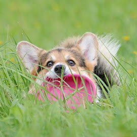 Me and my frisbee by Mia Ikonen - Animals - Dogs Portraits ( playing, canine, grass, pet, funny, pembroke welsh corgi, summer, finland, cute, dog, frisbee, mia ikonen )