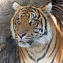 Tiger Eyes by Michael Elliott - Animals Lions, Tigers & Big Cats ( looking, look, face, majestic, shadow, beautiful, piercing, stripes, portrait, eyes )