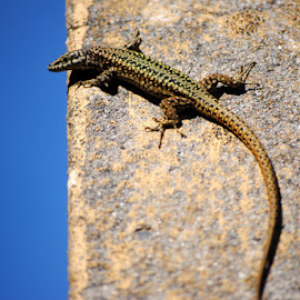 Just around the corner by Paula Guerra - Animals Reptiles ( lizard, nature, reptile, animal,  )